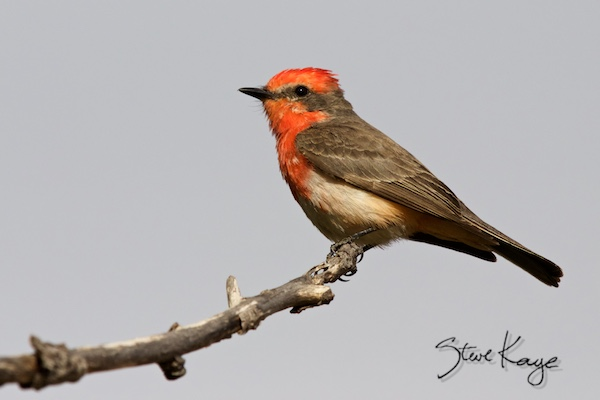 Vermilion Flycatcher, Male, Juvenile, (c) Photo by Steve Kaye