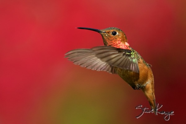 Allen's Hummingbird, Male, (c) Photo by Steve Kaye, in blog post: Photo Backgrounds Matter