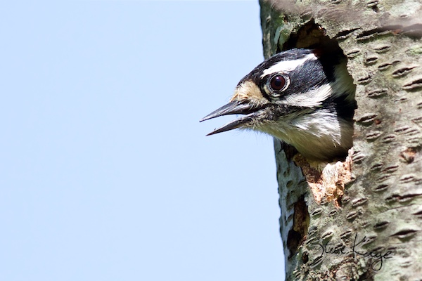 "Downy Woodpecker, Male, (c) Photo by Steve Kaye, in blog post ""Mastery"""
