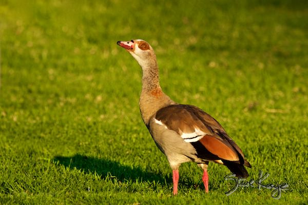 Egyptian Goose, Male, © Photo by Steve Kaye
