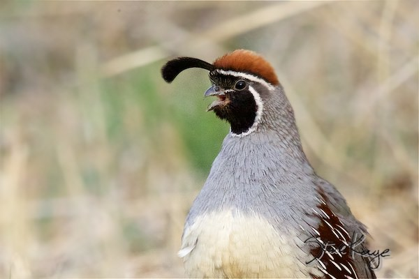 Gambel's Quail, Male, (c) Photo by Steve Kaye