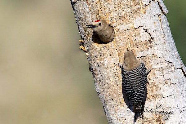 Gila Woodpecker, Male (Top) and Female (Right), (c) Photo by Steve Kaye, , in article: Help Birds - 5 Easy Things You Can Do