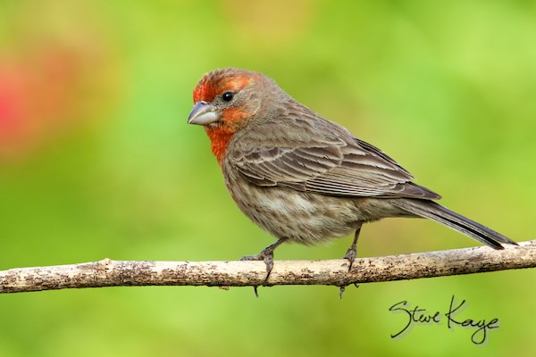 House Finch, Male, (c) Photo by Steve Kaye