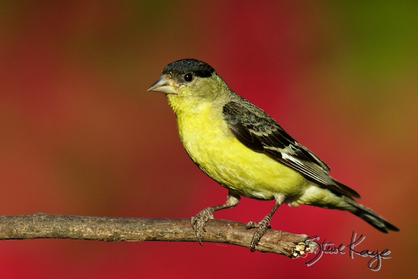 Lesser Goldfinch, Male, © Photo by Steve Kaye, in blog post: Bird Story About Power