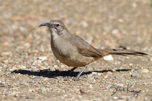California Thrasher, © Photo by Steve Kaye, in photo article: Watchlist Birds