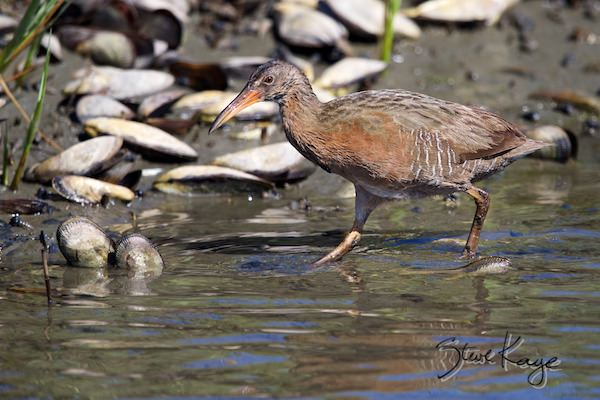 Light-footed Ridgway's Rail, © Photo by Steve Kaye, in photo article: Watchlist Birds