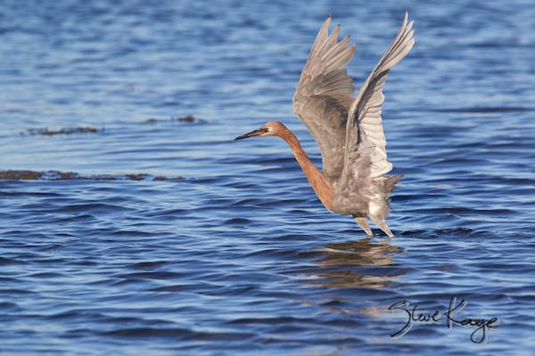 Reddish Egret, © Photo by Steve Kaye, in page: Organizations Working to Make a Better World