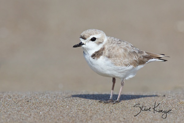 Snowy Plover, Female, © Photo by Steve Kaye, in Article: Endangered Birds