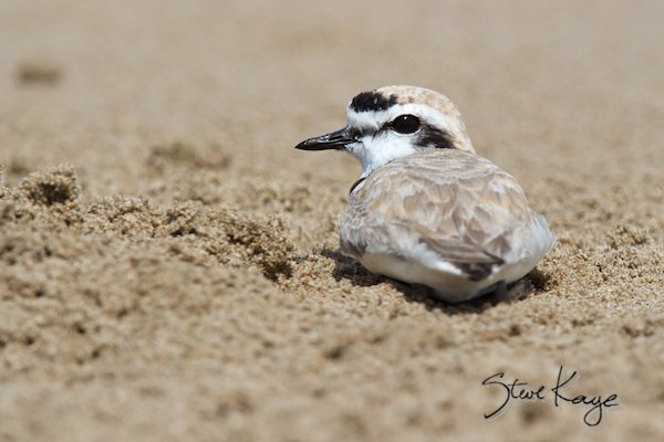 Snowy Plover, Male, (c) Photo by Steve Kaye, in photo article: Watchlist Birds