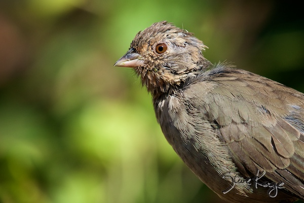 California Towhee, © Photo by Steve Kaye, in blog post Don't cry for me Audubon