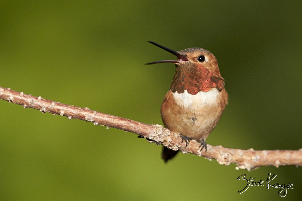 Allen's Hummingbird, Male, © Photo by Steve Kaye