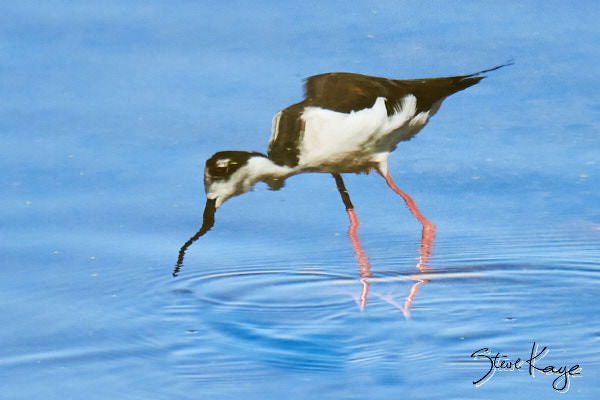 Black-necked Stilt, © Photo by Steve Kaye