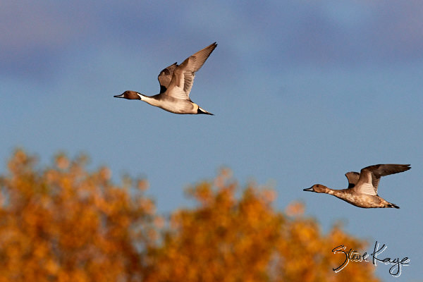 "Northern Pintail, in blog post: ""Important Message About Nature"""