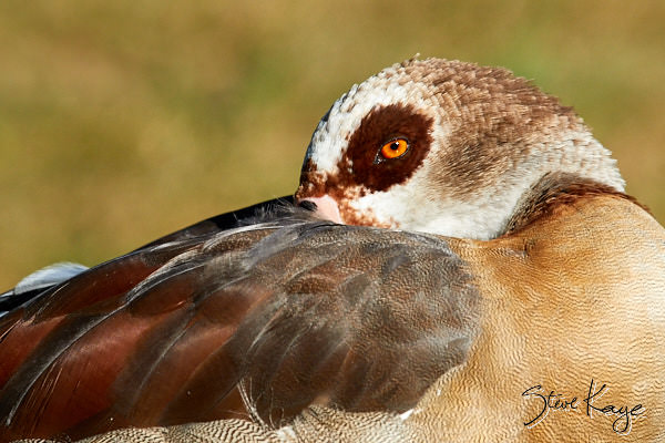 Egyptian Goose, Female, © Photo by Steve Kaye