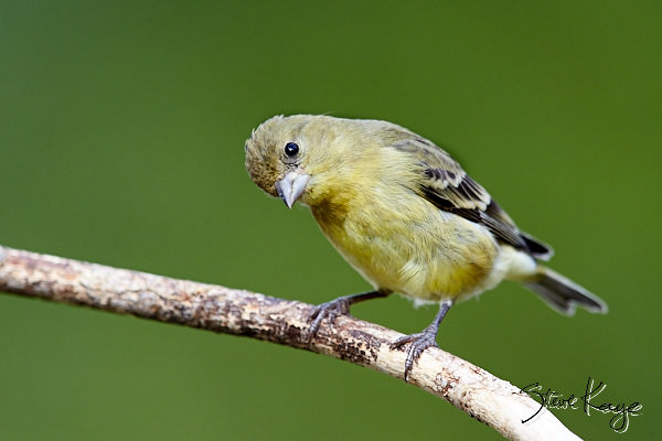 "Lesser Goldfinch, Female, © Photo by Steve Kaye, in blog post, ""Simple Request"""