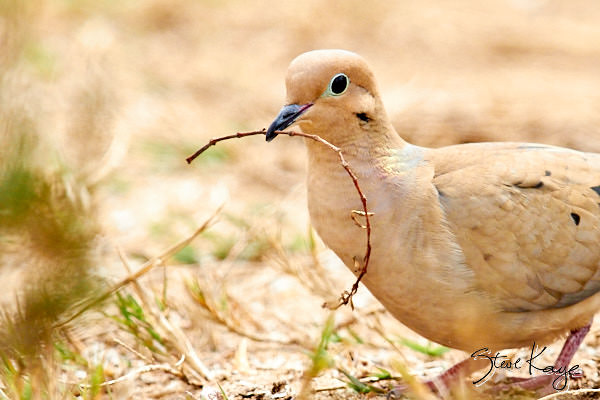 "Mourning Dove, (c) Photo by Steve Kaye, in blog post ""Odd Gifts Everyone Wants"""