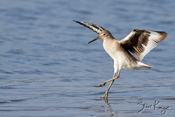Willet, © Photo by Steve Kaye