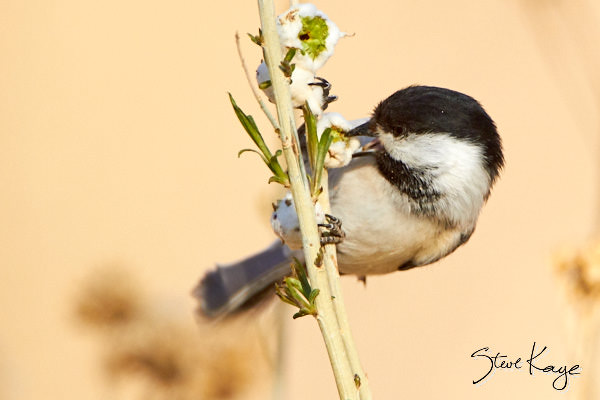 Black-capped Chickadee, © Photo by Steve Kaye, in blog post: Lessons from Birds