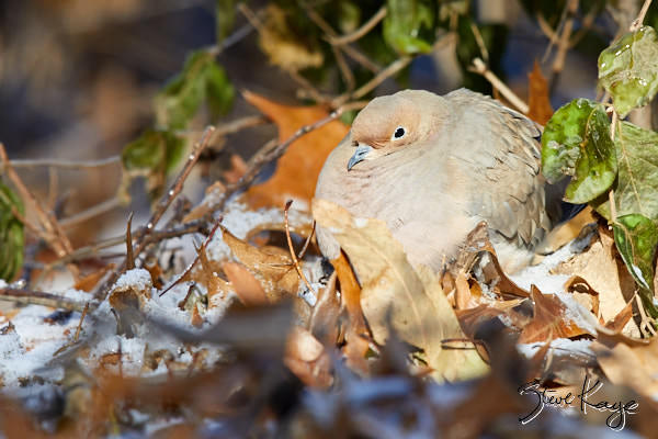 Mourning Dove, © Photo by Steve Kaye