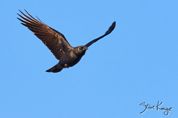 American Crow, © Photo by Steve Kaye, in blog post: Why Crows Fly Back and Forth