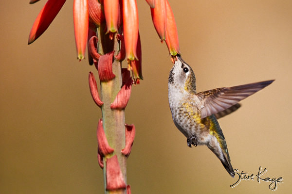 Anna's Hummingbird, Female, © Photo by Steve Kaye