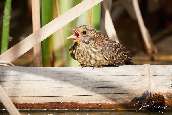 Red-winged Blackbird, Juvenile, © Photo by Steve Kaye