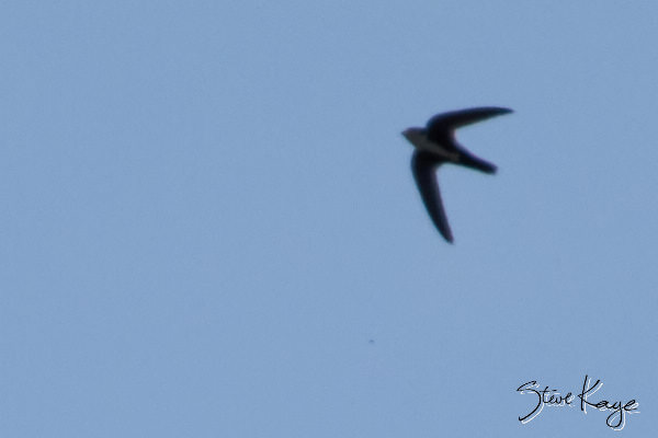 White-throated Swift, © Photo by Steve Kaye