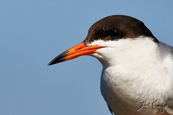 Forster's Tern, © Photo by Steve Kaye, in blog post, The Joy of Photographing Details