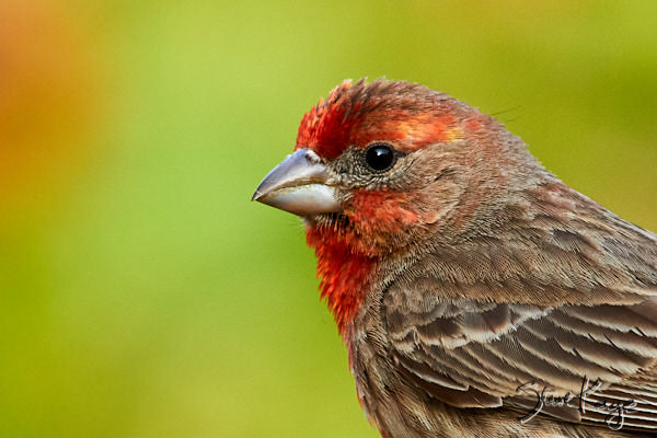House Finch, © Photo by Steve Kaye, in blog post, The Joy of Photographing Details