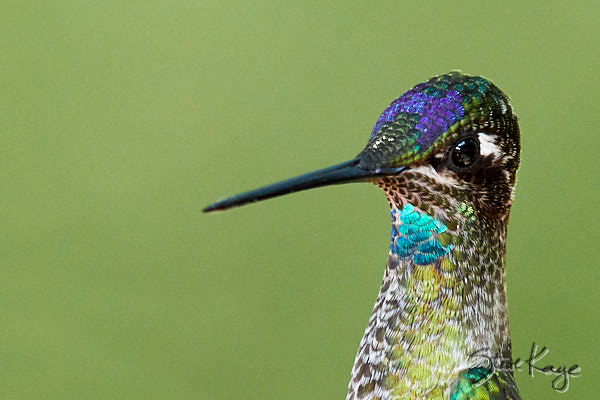 Rivoli's Hummingbird, © Photo by Steve Kaye, in blog post, The Joy of Photographing Details