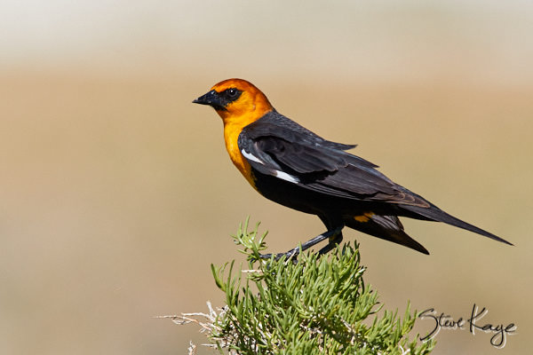 Yellow-headed Blackbird, Male, © Photo by Steve Kaye, in blog, Vacation for the Birds