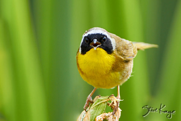 Common Yellowthroat, Male, © Photo by Steve Kaye