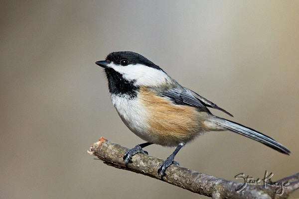 Black-capped Chickadee, © Photo by Steve Kaye, in blog post: Stopping to Be Happy