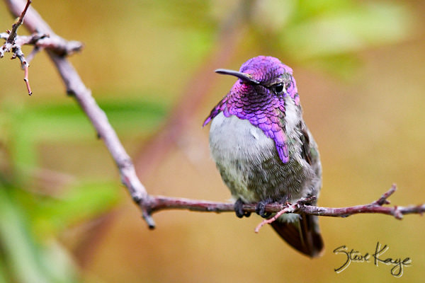 Costa's Hummingbird, Male, (c) Photo by Steve Kaye