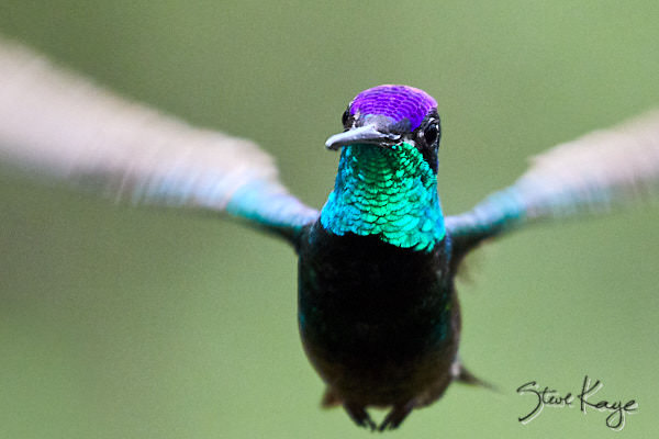 "Magnificent Hummingbird, Male, © Photo by Steve, in Blog Post: ""Odd Part of Bird Photography"""
