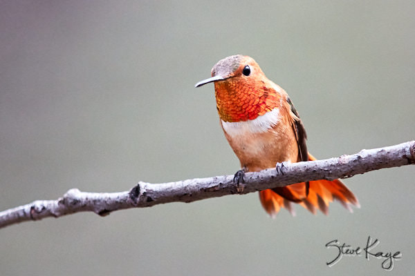 "Rufous Hummingbird, Male, © Photo by Steve Kaye, in Blog Post: ""Odd Part of Bird Photography"""