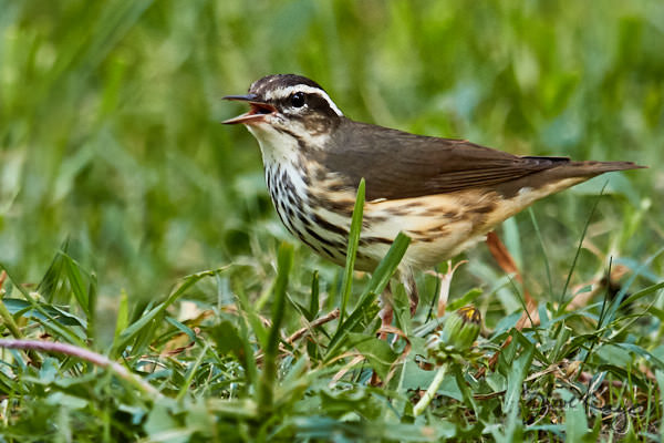 Louisiana Waterthrush, © Photo by Steve Kaye, in blog post: Why I Talk to Birds