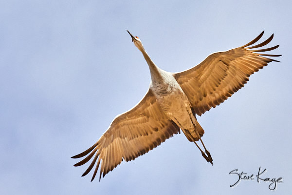"Sandhill Crane, © Photo by Steve Kaye, in blog post ""Why Silence"""