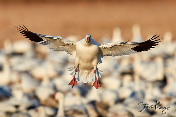 "Snow Goose Landing, © Photo by Steve Kaye, in blog post: ""How to Take Off"""