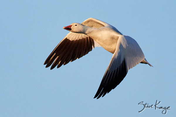"Snow Goose, © Photo by Steve Kaye, in blog post: ""How to Take Off"""
