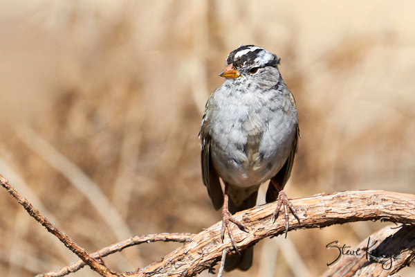 "White-crowned Sparrow, © Photo by Steve Kaye, in Blog Post ""Ordinary Courage"""