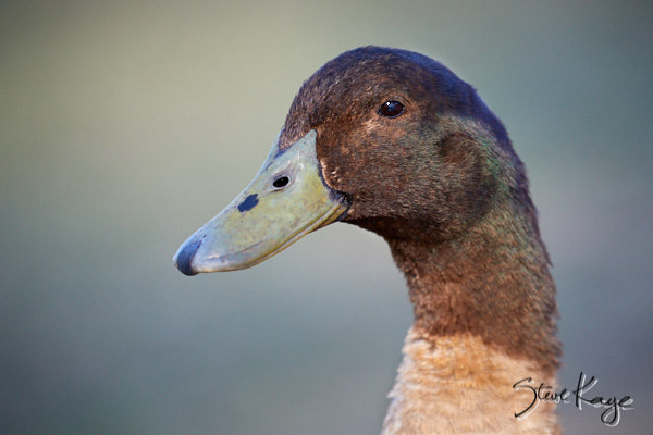 "Domestic Duck, (c) Photo by Steve Kaye, in Blog Post: ""Visit Your Local Park"""