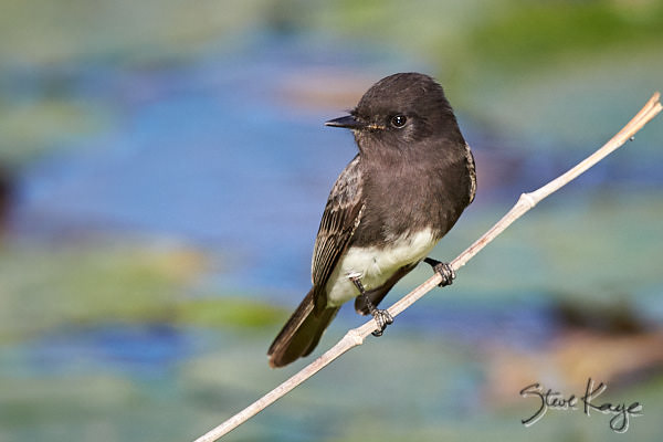 Black Phoebe, © Photo by Steve Kaye, blog post: Seasons with a Black Phoebe