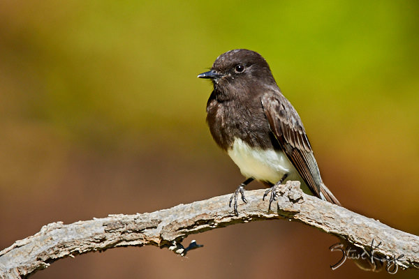 Black Phoebe, © Photo by Steve Kaye