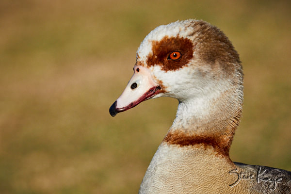 "Egyptian Goose, © Photo by Steve Kaye, in Blog Post: ""Visit Your Local Park"""