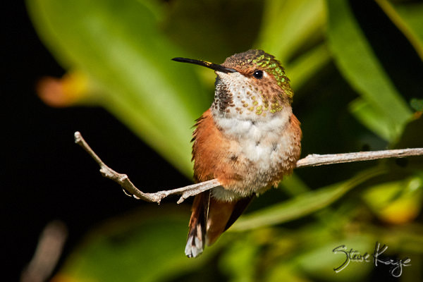 Allen's Hummingbird, © Photo by Steve Kaye, in article: Better World - 10 Things You Can Do