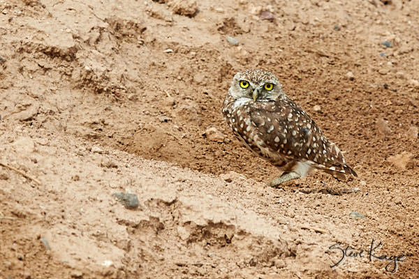 Burrowing Owl, © Photo by Steve Kaye, in Article: Endangered Birds