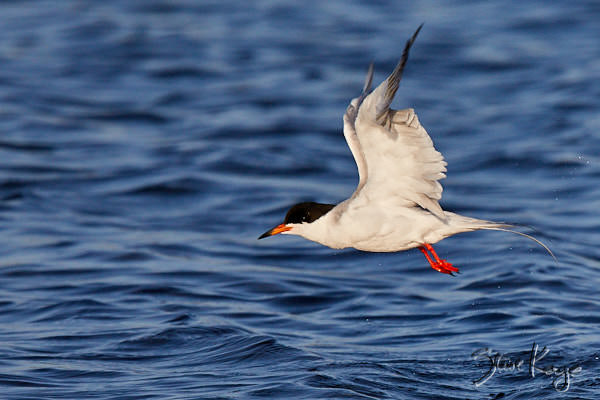 Forster's Tern, © Photo by Steve Kaye, in blog post: Your Signature