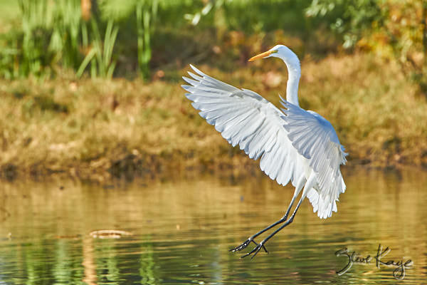 Great Egret, © Photo by Steve Kaye, in blog post: Lessons from Birds