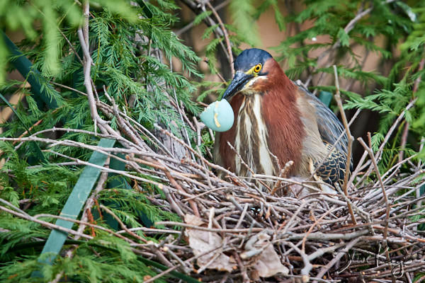 Green Heron, © Photo by Steve Kaye, in blog post: How Birds Celebrate Spring